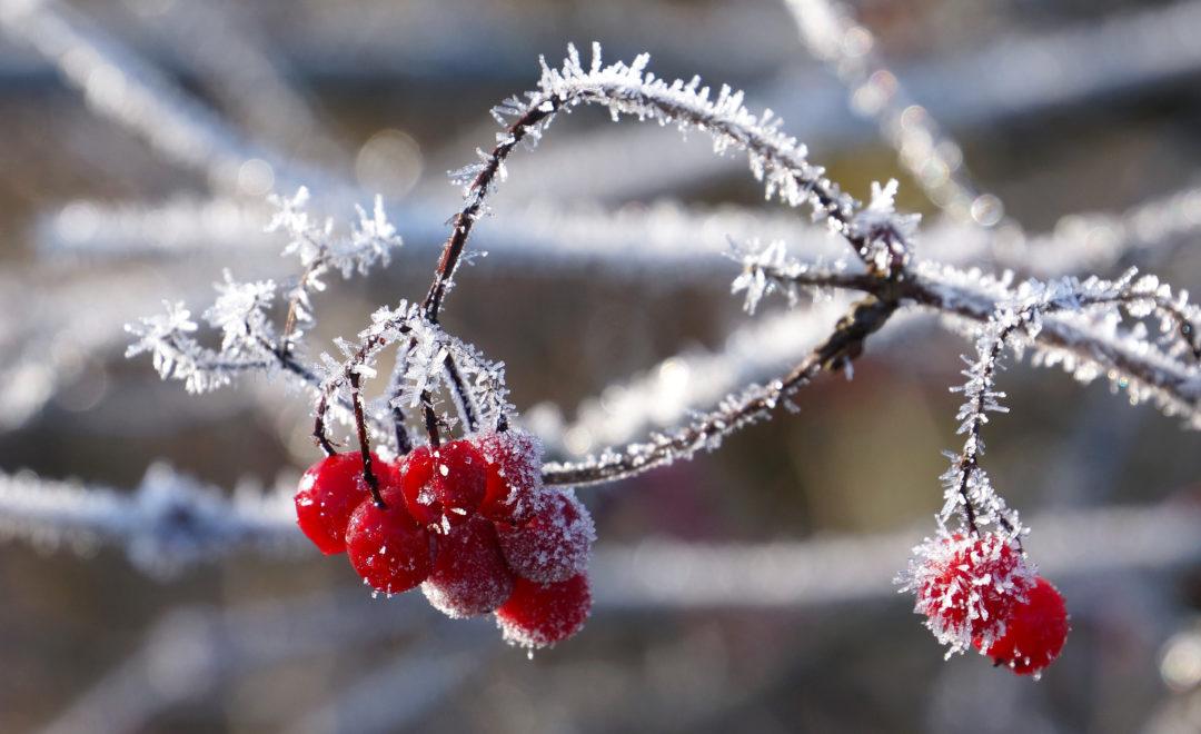 Beeren im Frost | Mühlau, Aargau