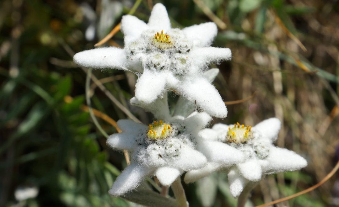Edelweiss | im Alpstein