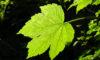 Ahornblatt im Gegenlicht