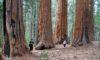 Mammutbäume USA